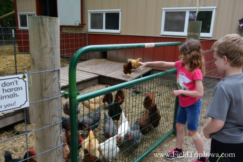 Girl feeds chickens at Hidden Paradise Alpacas Farm in IL