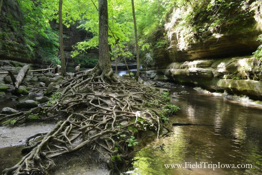 Tree roots near Giants Bathtub in Matthiessen State Park, IL