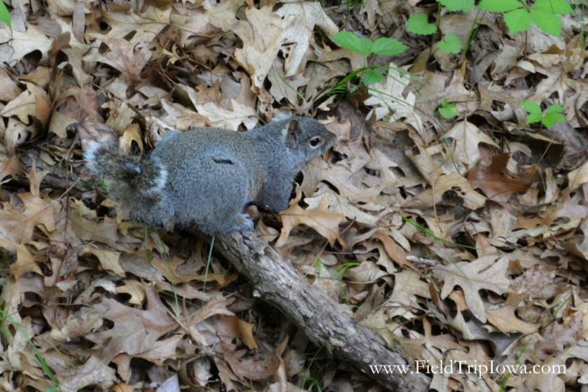 Gray squirrel in Starved Rock State Park, IL