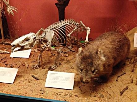 The-Field-Museum-Chicago-wambat