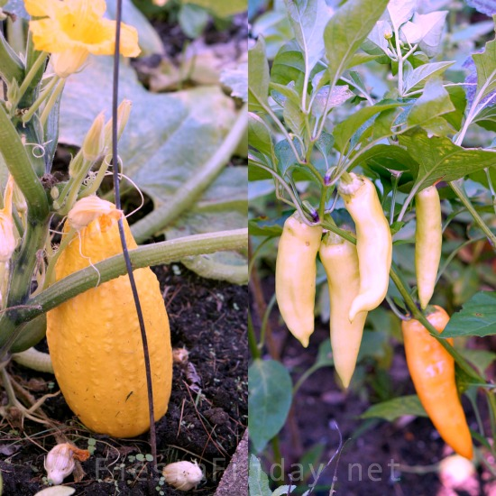 squash-and-peppers