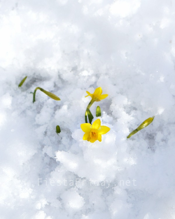 daffodils-in-the-snow | fiestafriday.net