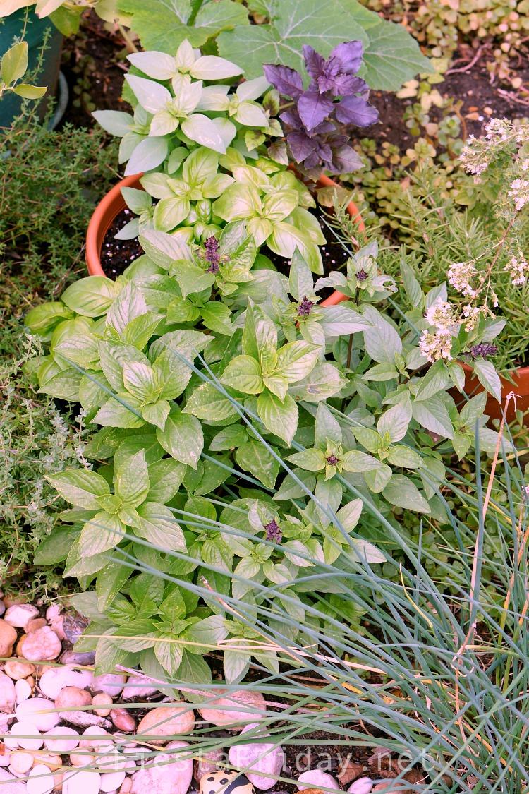 Grow A Basil Garden #basil #basilgarden #herb #herbgarden
