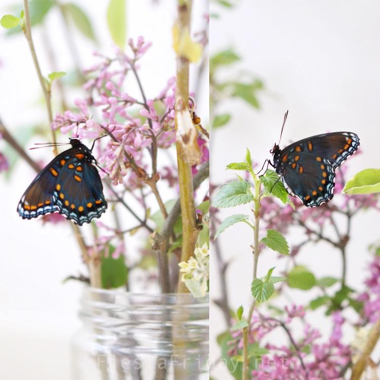 red-spotted purple butterfly | FiestaFriday.net