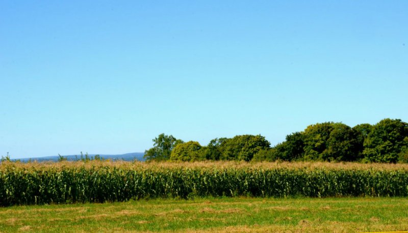 Cornfields at Wilkens farm in Westchester, NY