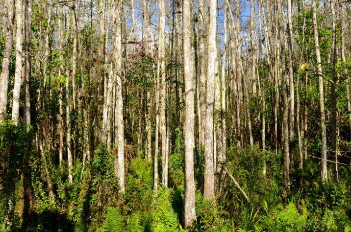 Woods at Corkscrew Swamp Sanctuary in Naples Florida.
