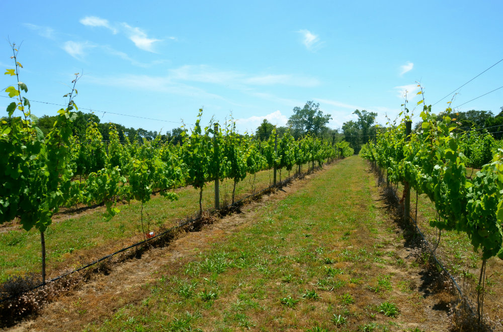 Hello Cape May Wine Vineyards: Yes, Wine Tasting in Jersey!