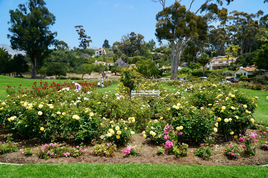 The roses of the Old Mission Santa Barbara