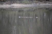 Australian Wood Ducks Swimming