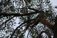 Bird calling from a gum tree.