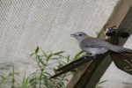 grey-shrike-thrush-sitting-on-sculpture