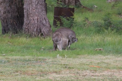 Eastern-Grey-Kangaroo-emerges-from-pouch-back-feet-first
