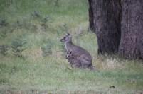 Female-Eastern-Grey-Kangaroo-and-Joey
