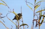Hume's Leaf Warbler