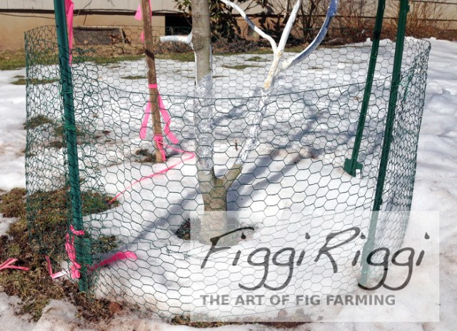 Chicken wire protection from rabbits that works