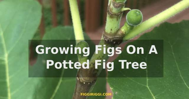 a featured image of growing figs on a potted fig tree