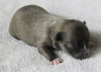 Stoli - 1 Week Old – Weight 7 3/4 ozs