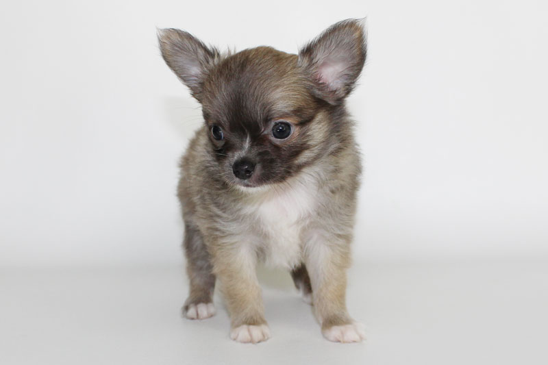 Stoli - 7 Weeks Old - Weight 2 lbs 2 3/4 ozs