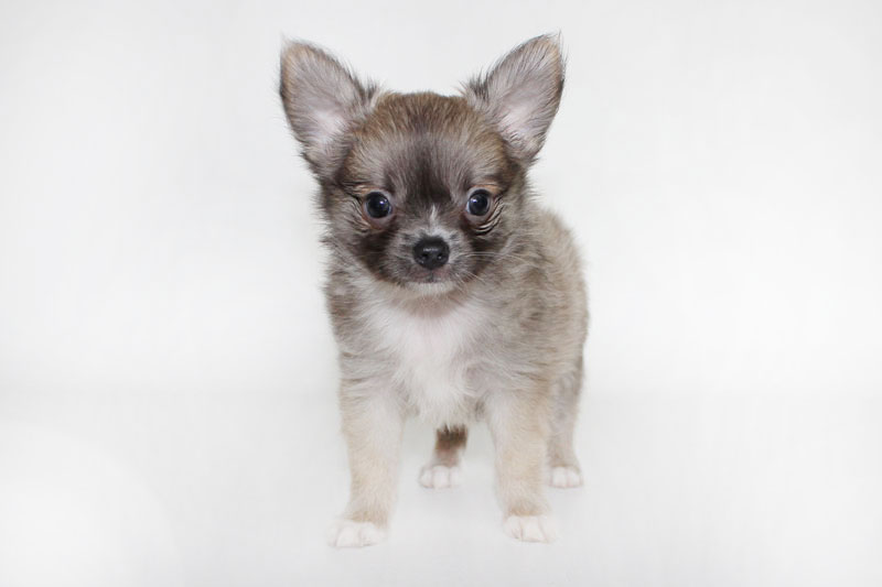 Stoli - 8 Weeks Old – Weight 2 lbs 6 1/4 ozs