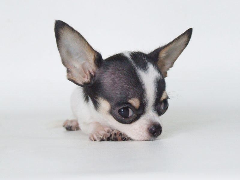 So You Want To Show Your Chihuahua