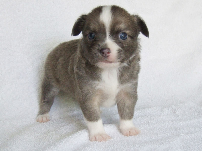 Bleu - 4 Weeks Old - Weight 1 lb 6 oz