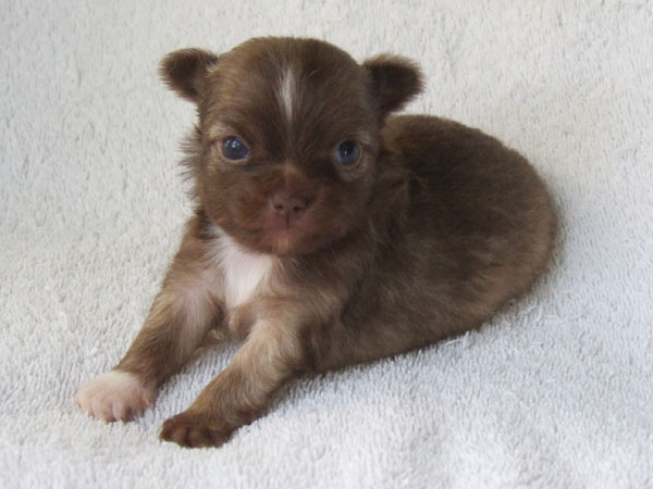 Kahlua - 4 Weeks Old - Weight 13 ozs