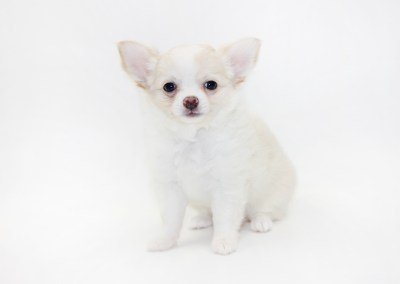 Kiss - 8 Weeks Old - Weight 2 lbs. 12ozs