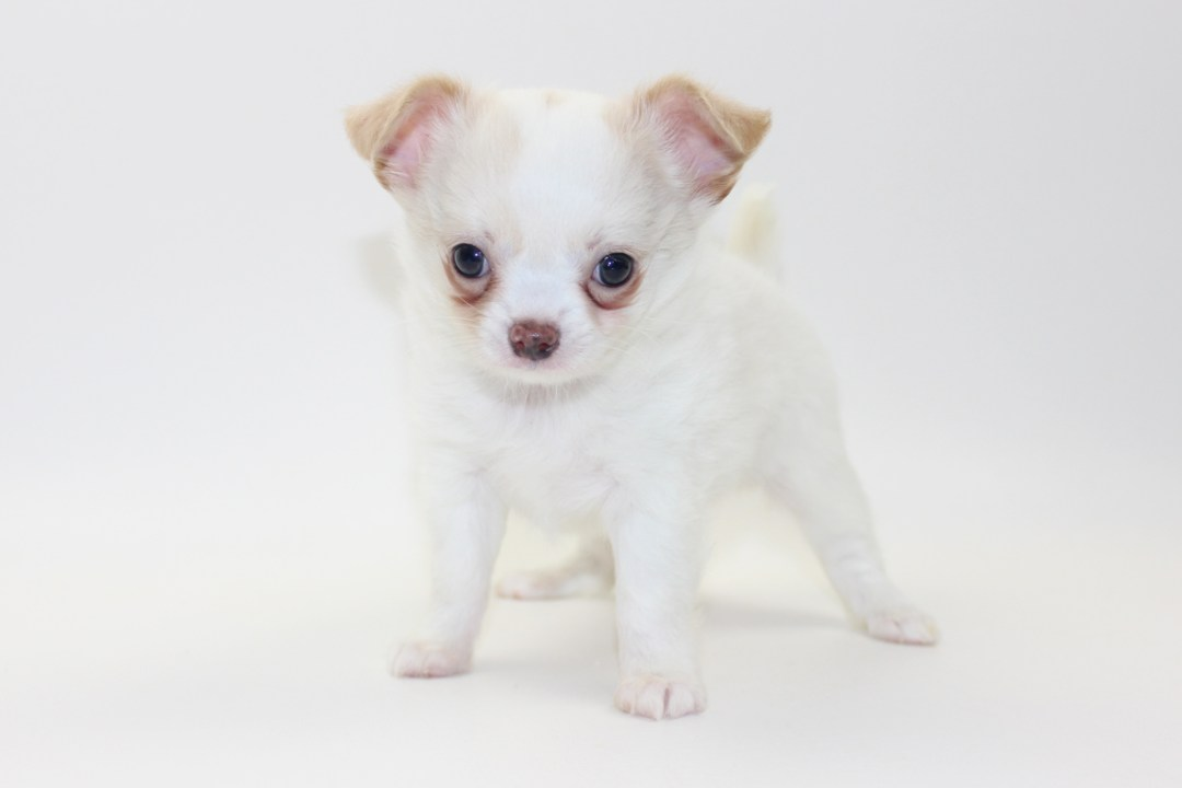 Thunder - 7 Weeks Old - Weight 2 lbs 2 ozs