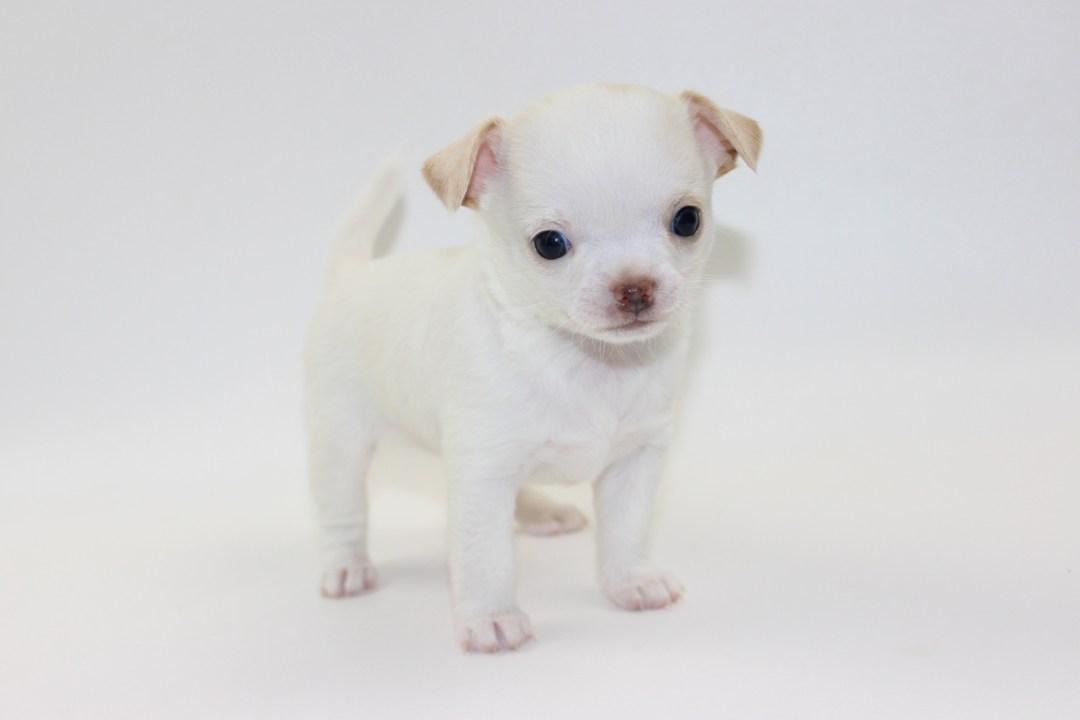 Teenie - 5 Weeks Old - Weight 1 lb 5.5 ozs