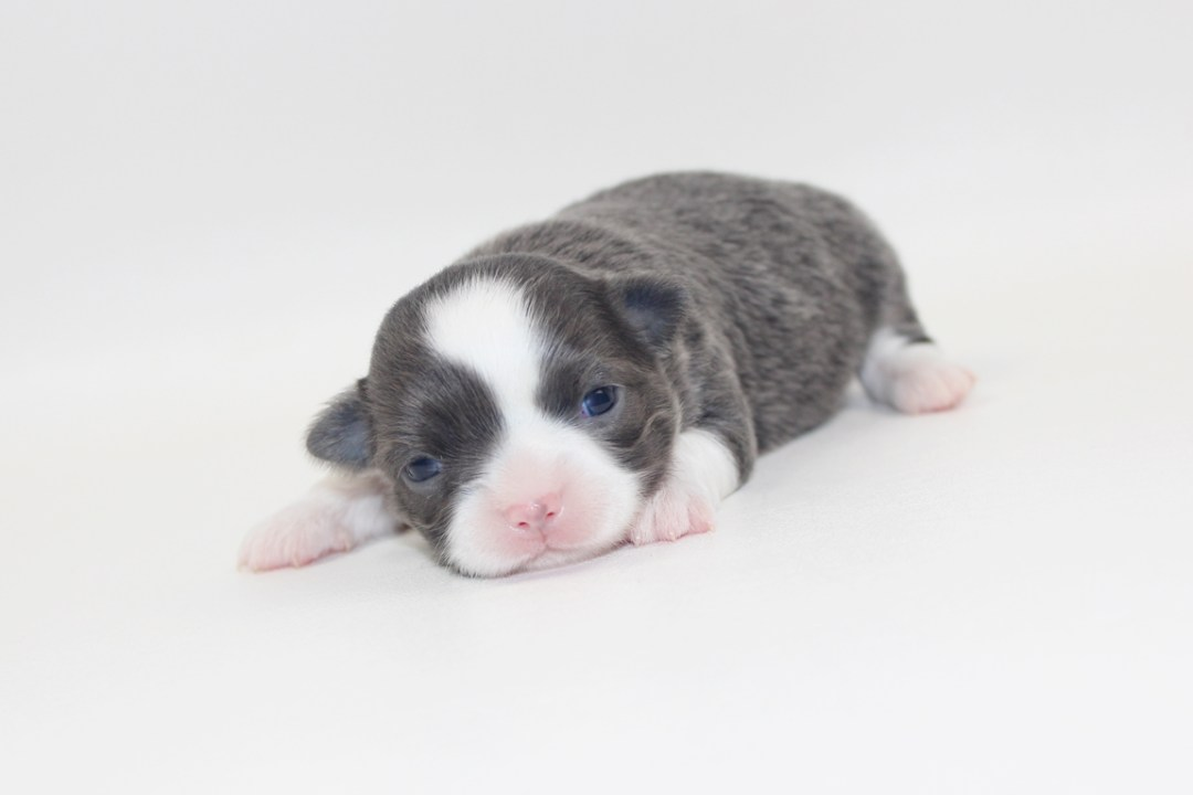 Smurf - 2 Weeks Old- Weight 1lb