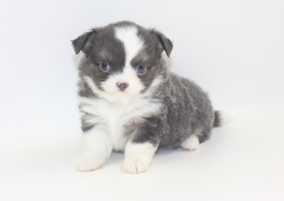 Smurf - 6 Weeks Old- Weight 1lb 14.6 ozs