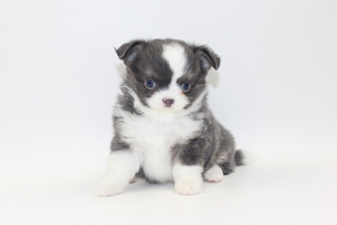 Smurf - 7 Weeks Old- Weight 1lb 14.6 ozs