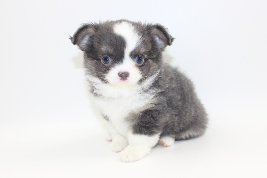 Smurf - 8 Weeks Old- Weight 2lbs 2.6 ozs