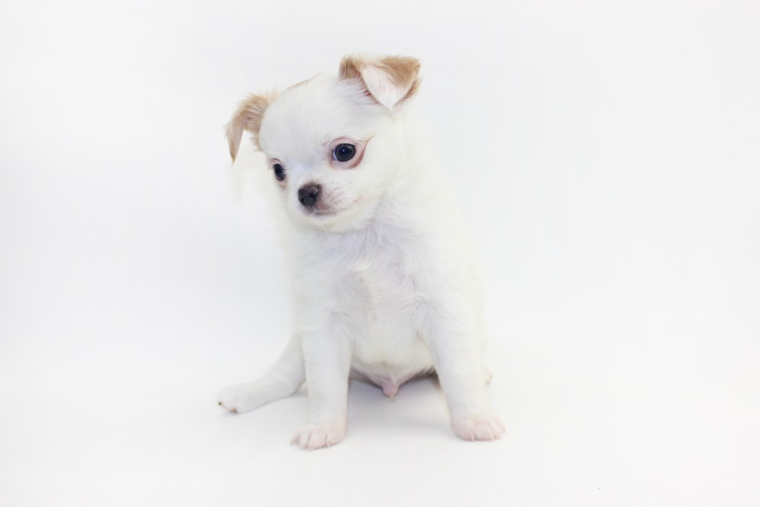 Troublemaker - 7 Weeks Old - 2 lbs 1.8 ozs