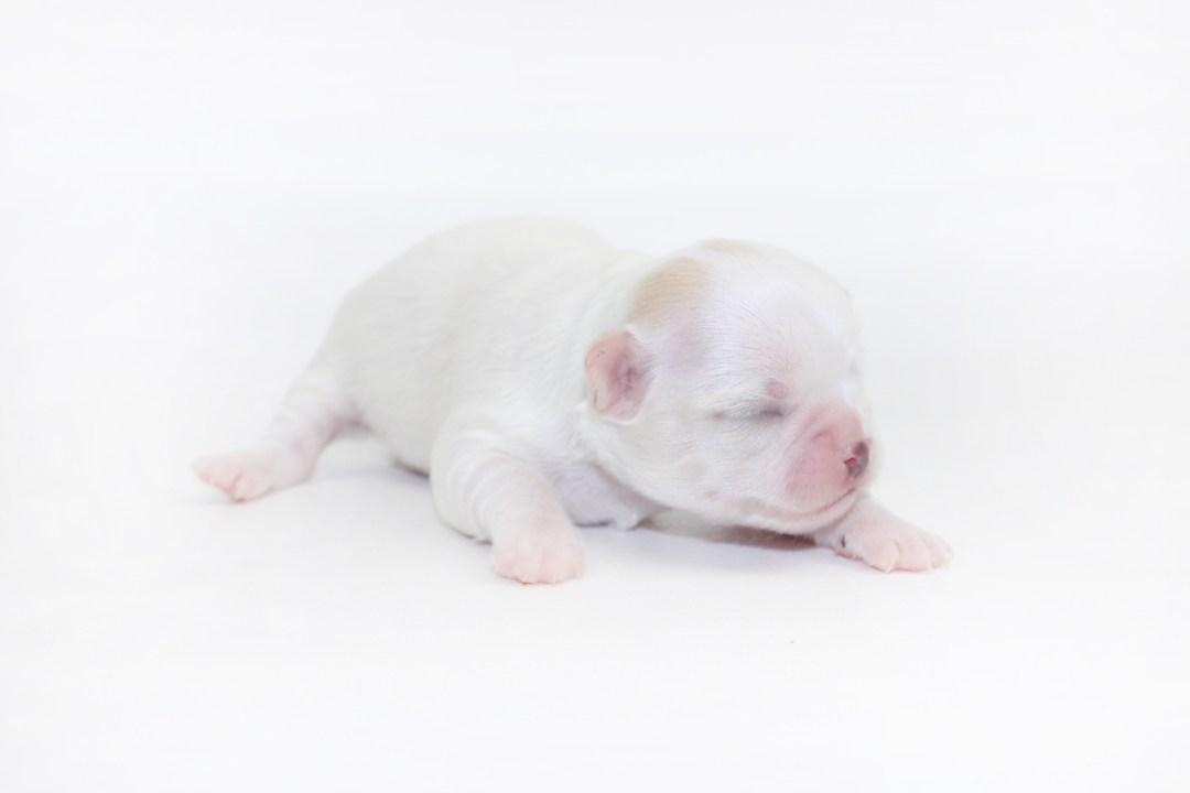 White Sangria - 1 Week Old - 11.8 ozs