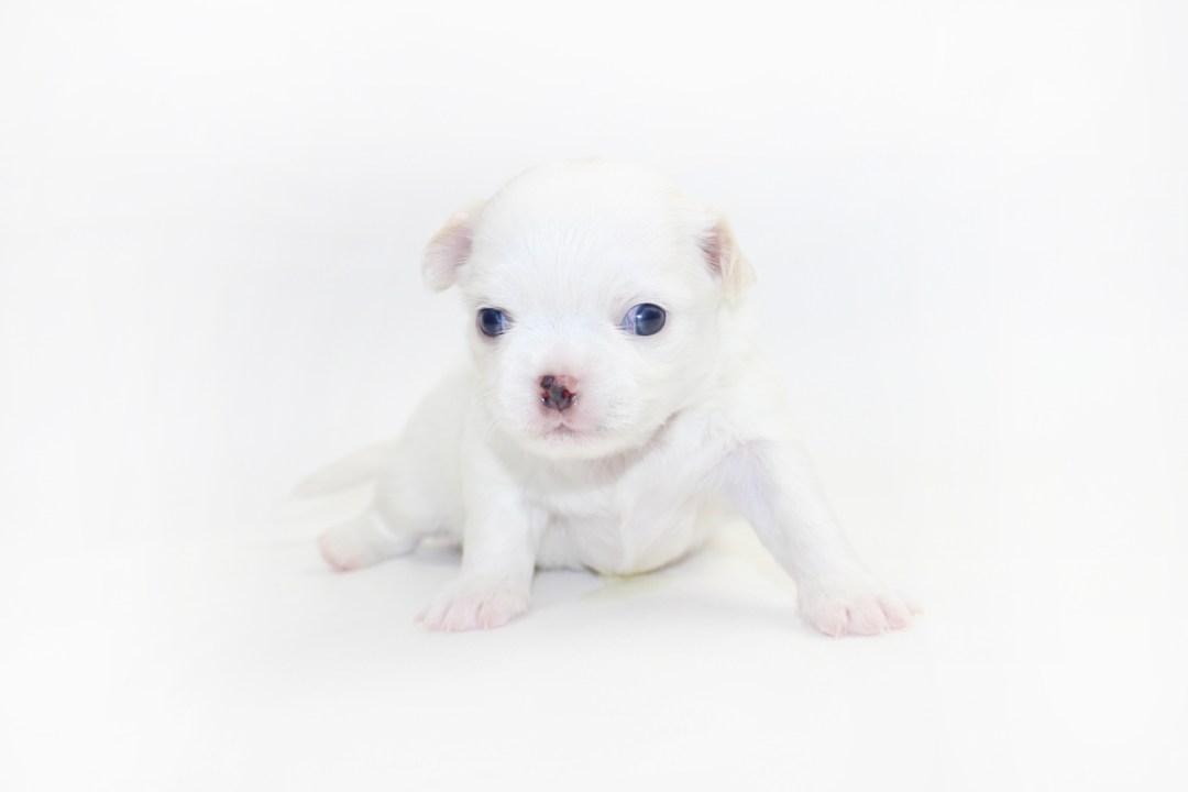 White Sangria - 3 Weeks Old - 1 lb 6.5 ozs.