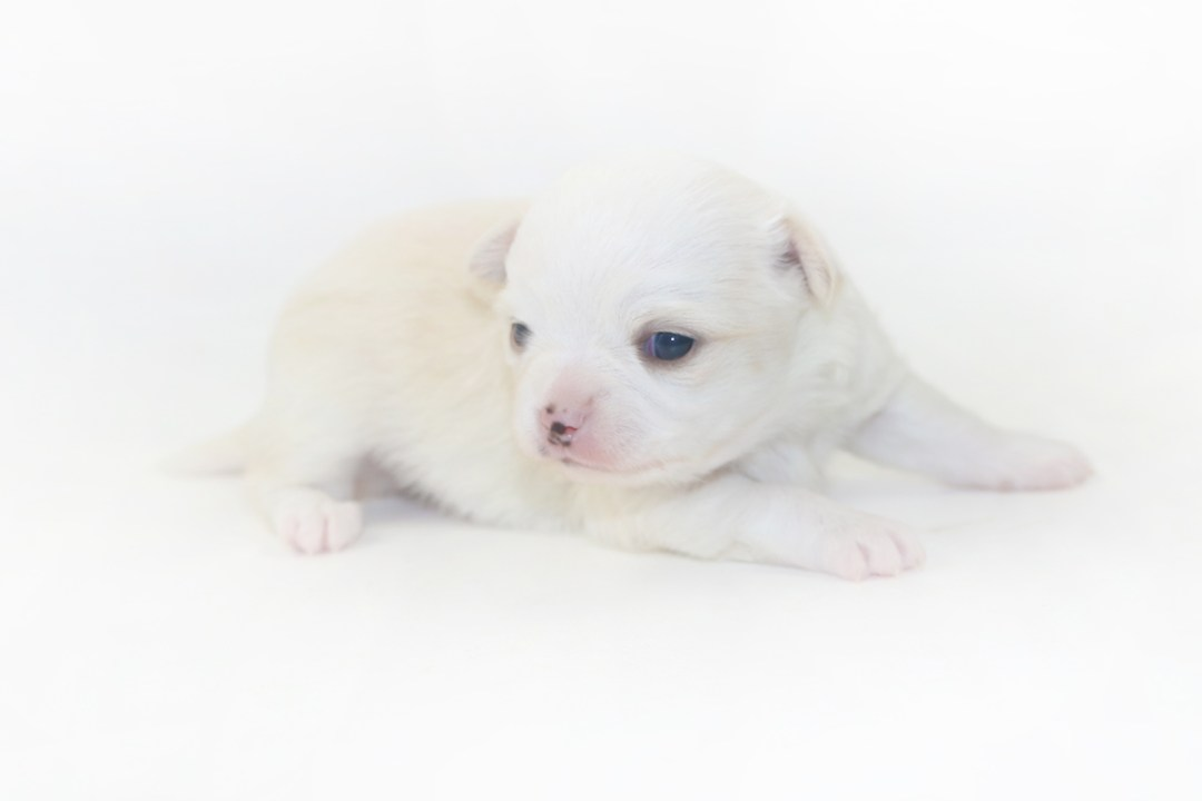 Cottontail Martini - 2 Week Old Chihuahua Puppy - 1 lb