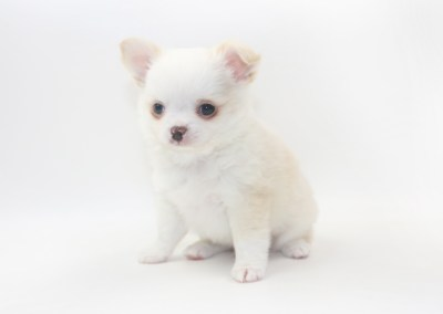 Cottontail Martini - 7 Week Old Chihuahua Puppy - 2 lb 3 ozs