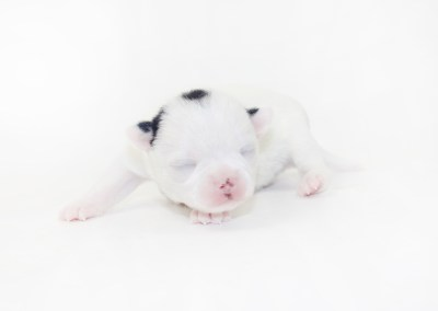 Hippity Hoppity - 1 Week Old Chihuahua Puppy- 9.2 ozs.