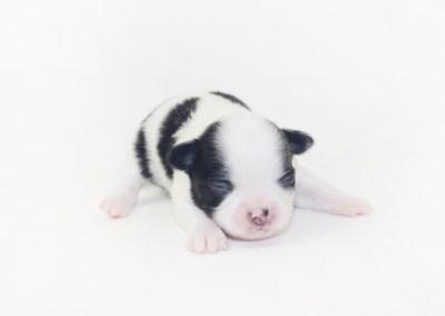 Boozy Bunny - 1 Week Old Chihuahua Puppy - 10.1 ozs.