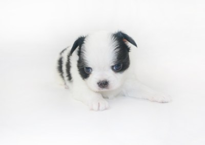 Boozy Bunny - 4 Week Old Chihuahua Puppy - 1 lb 6 ozs.