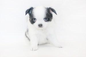 Boozy Bunny - 6 Week Old Chihuahua Puppy - 1 lb 14 ozs.