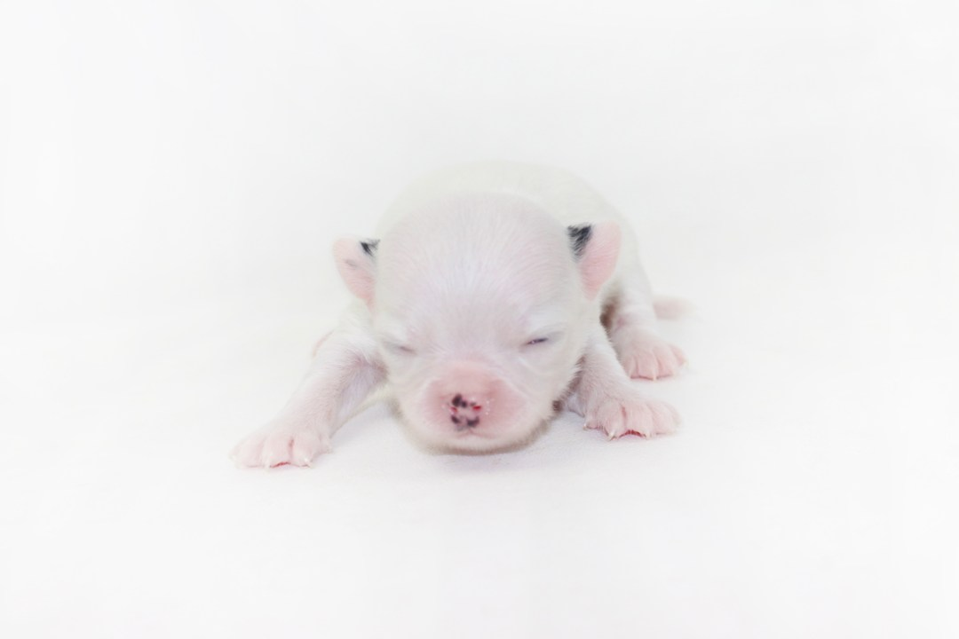 Jelly Bean-itini - 1 Week Old Chihuahua Puppy - 5.8 ozs.