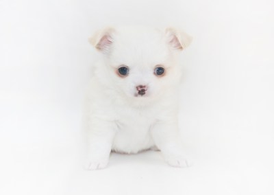 Cottontail Martini - 5 Week Old Chihuahua Puppy - 1 lb 13 ozs