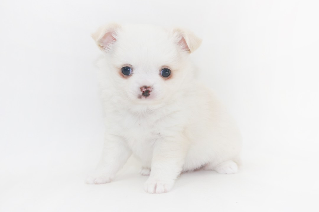Cottontail Martini - 6 Week Old Chihuahua Puppy - 1 lb 15.5 ozs