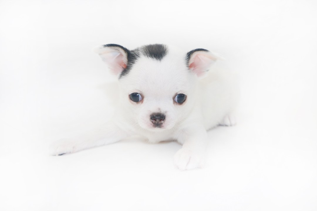 Hippity Hoppity - 5 Week Old Chihuahua Puppy- 1 lb 13.5 ozs.