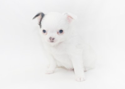 Naughty Peeps - 6 Week Old Chihuahua Puppy - 1lb 10.5 ozs.