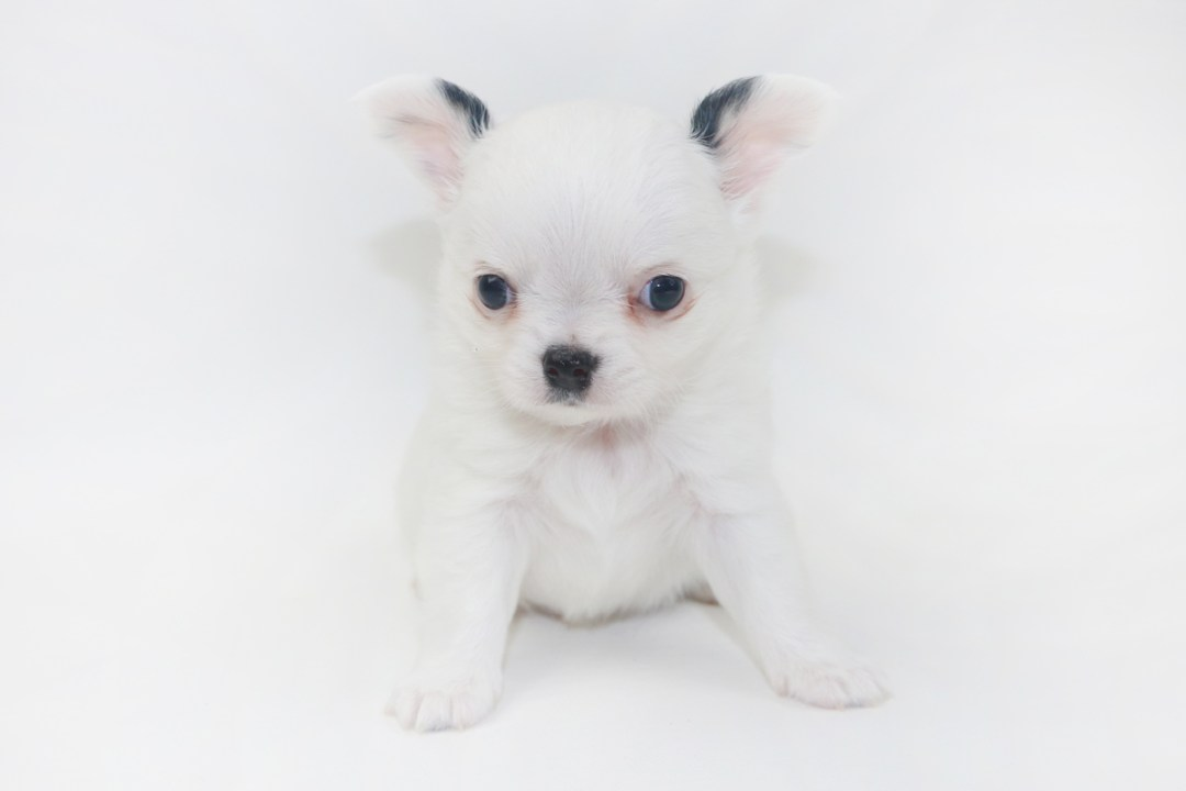 Jelly Bean-itini - 5 Week Old Chihuahua Puppy - 1 lb 3.5 ozs.