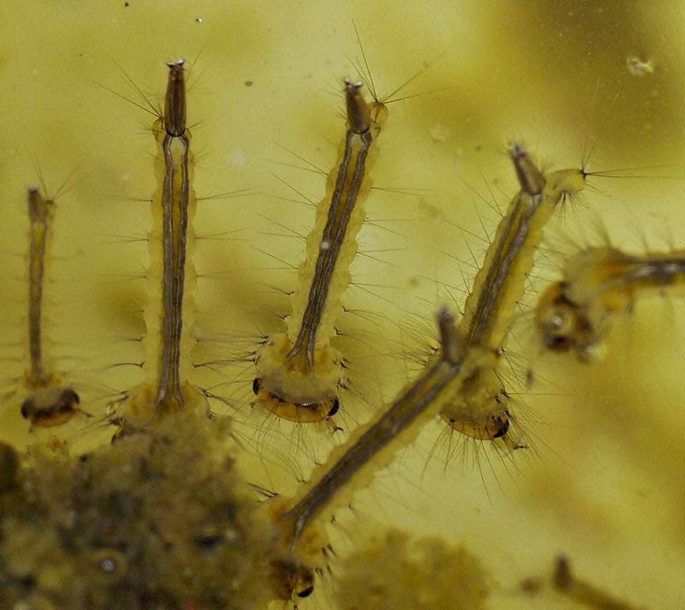 Картинки личинок комара