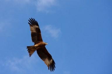 Eagle - Ereen Nuur, Mongolia